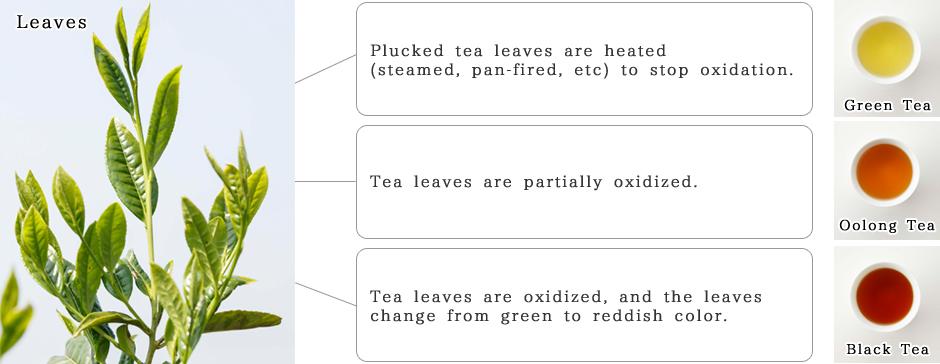 緑茶、烏龍茶、紅茶の製造方法の主な違い